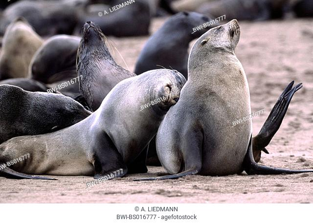 South African fur seal, Cape fur seal (Arctocephalus pusillus pusillus, Arctocephalus pusillus), two individuals smooching, Namibia, Cape Cross seal reserve