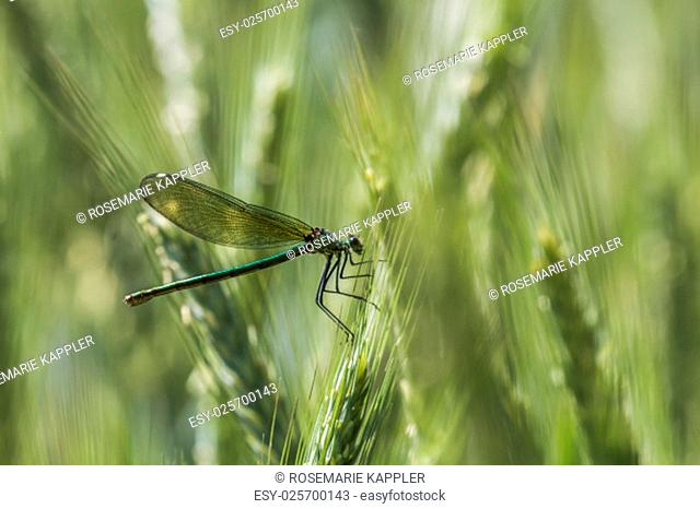 dragonfly sitting on a blade of grass