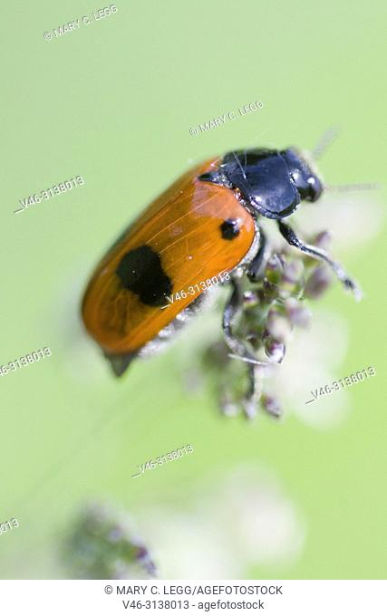 Clytra laeviuscula. Clytra laeviuscula, a bright red or orange beetle with two large black patches and two black shoulder spots found in limestone grasslands