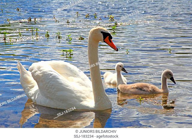 Mute Swan (Cygnus olor) with two young on water. Germany