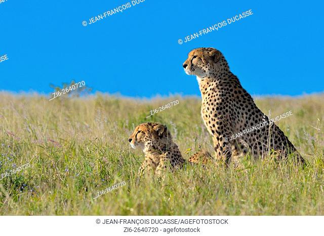 Cheetahs (Acinonyx jubatus), in tall grass, watching the surroundings, Addo Elephant National Park, Eastern Cape, South Africa, Africa