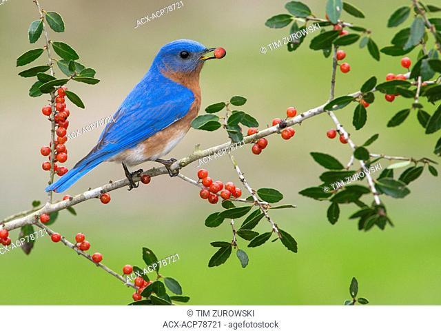 Eatern Bluebird, Houston, Texas, USA