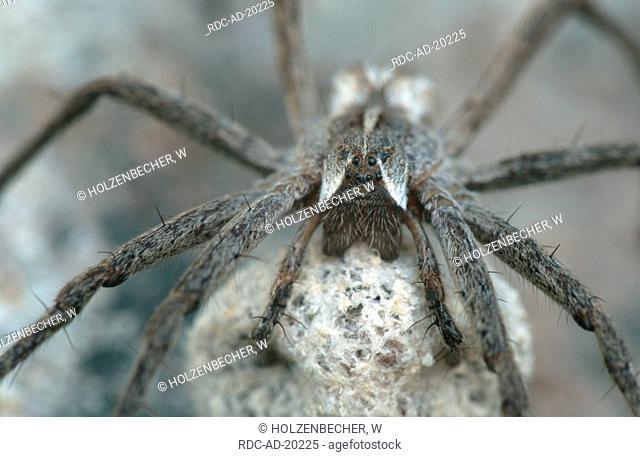 Fantastic Fishing Spider Baden-Wurttemberg Germany Pisaura mirabilis