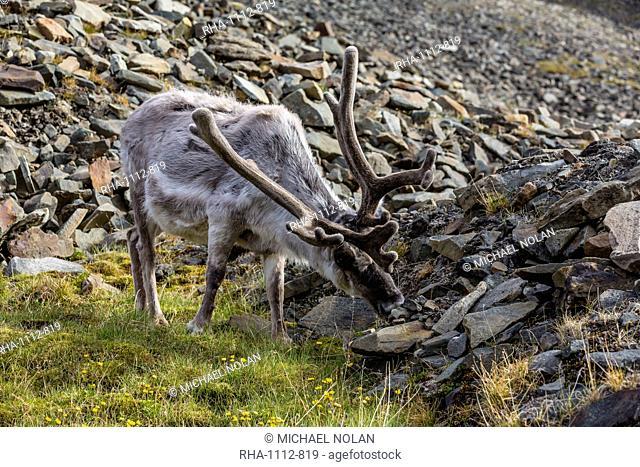 Svalbard reindeer (Rangifer tarandus platyrhynchus) buck in velvet, Spitsbergen, Svalbard Archipelago, Norway, Scandinavia, Europe
