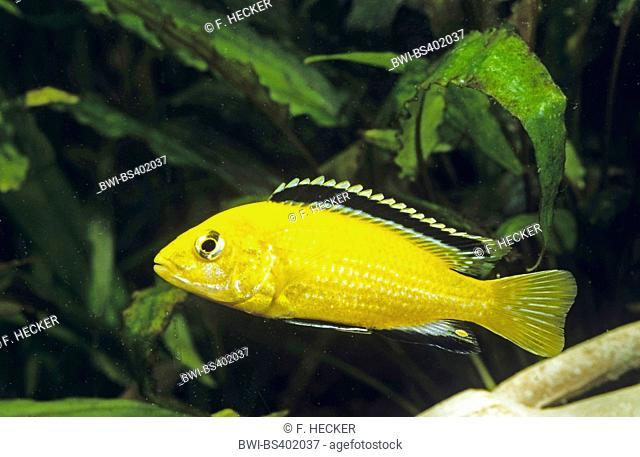 lemon yellow lab, electric yellow, yellow prince, Labido jaune (Labidochromis Yellow), swimming