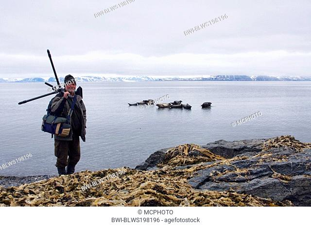 harbor seal, common seal Phoca vitulina, nature photographer in front of seals, Norway, Svalbard Inseln