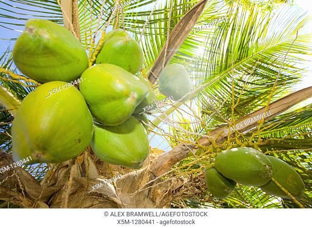 Cocos nucifera or coconuts growing on the tree