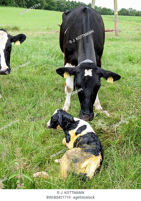 domestic cattle (Bos primigenius f. taurus), calf just born, cow with newborn calf on a pasture, Germany
