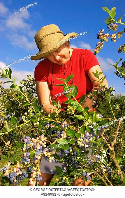 OR36744 Upick blueberries, Marion County, OR