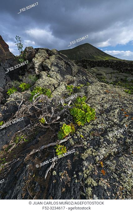 Lava field and lichen , La Geria, Lanzarote Island, Canary Islands, Spain, Europe