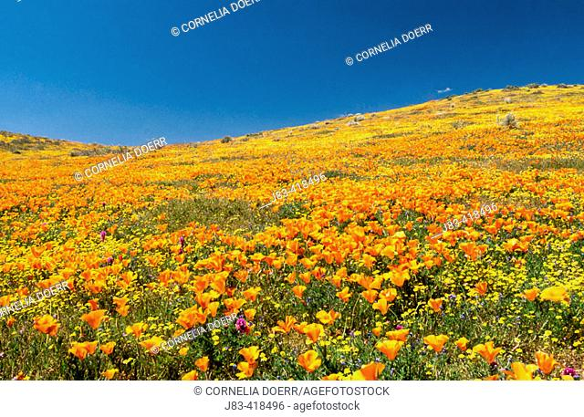Field of California poppies, Antelope Valley, California, USA