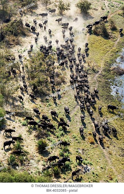 Cape Buffaloes (Syncerus caffer caffer), roaming herd in a freshwater marsh, Okavango Delta, Botswana