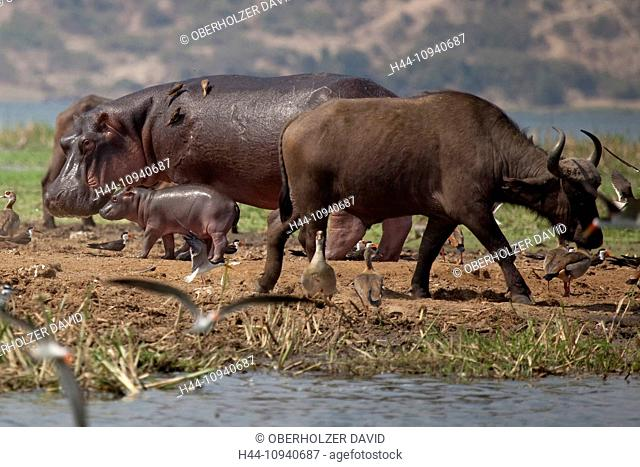 Africa, Uganda, East Africa, black continent, pearl of Africa, Great Rift, Queen Elisabeth, national park, nature, water buffalo, Syncerus caffer, ruminants