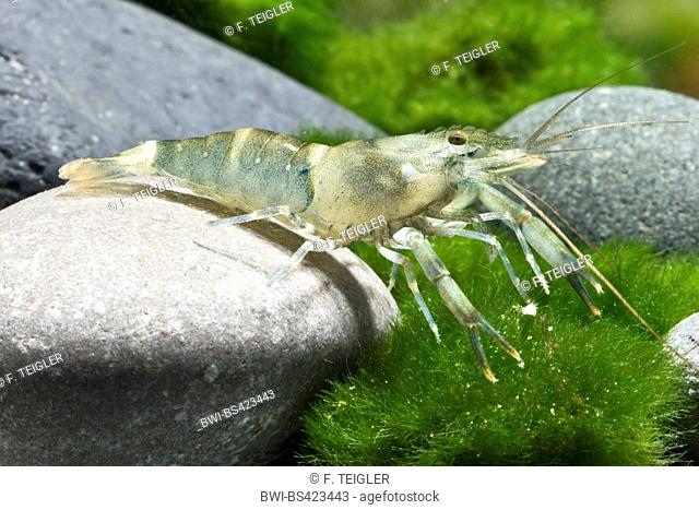 Bamboo prawn (Macrobrachium Bamboo), sitting on a stone