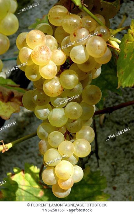 Bunch of yellow grape 'Chasselas Danuta'