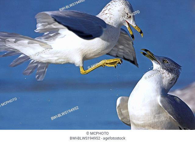 ring-billed gull Larus delawarensis, two fighting individuals, USA, Florida