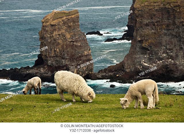 Sheep and lambs grazing, sea arch near Otanarito Bay collapsed after 2011 earthquake, Banks Peninsula, Canterbury