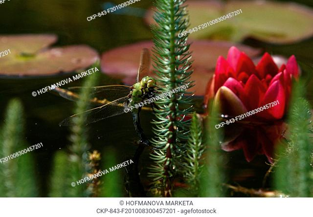 garden, water, dragonfly, dragon fly, Anax imperator, insect, flower, flowers, nature, Nymphaea CTK Photo/Marketa Hofmanova