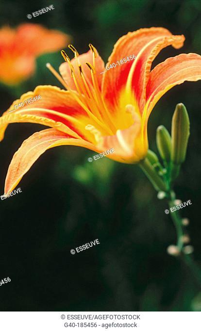 Day-lily (Hemerocallis dumortieri)