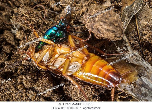 Emerald Cockroach Wasp (Ampulex compressa) adult female, stinging American Cockroach (Periplaneta americana) to obliterate sense of fear and turn it into...