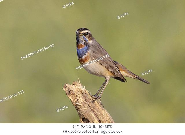 Bluethroat (Luscinia svecica) adult male, perched on branch, Long Valley, New Territories, Hong Kong, China, December