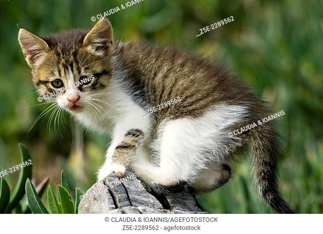 Kitten balancing on a wooden banister in the garden