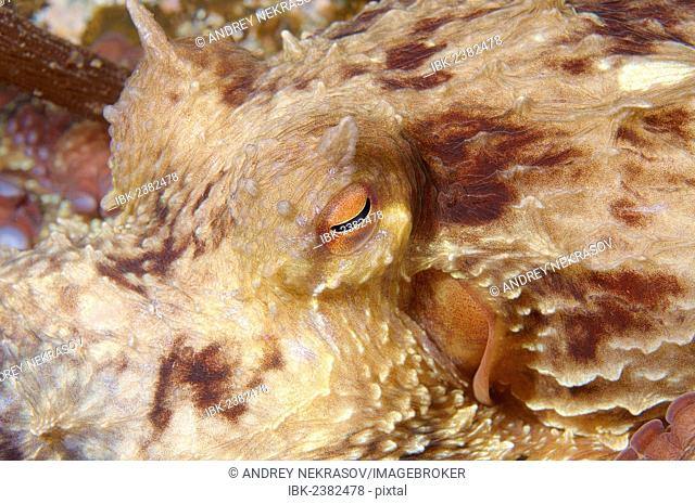 Giant Pacific octopus or North Pacific giant octopus (Enteroctopus dofleini), Japan Sea, Primorsky Krai, Russian Federation, Far East