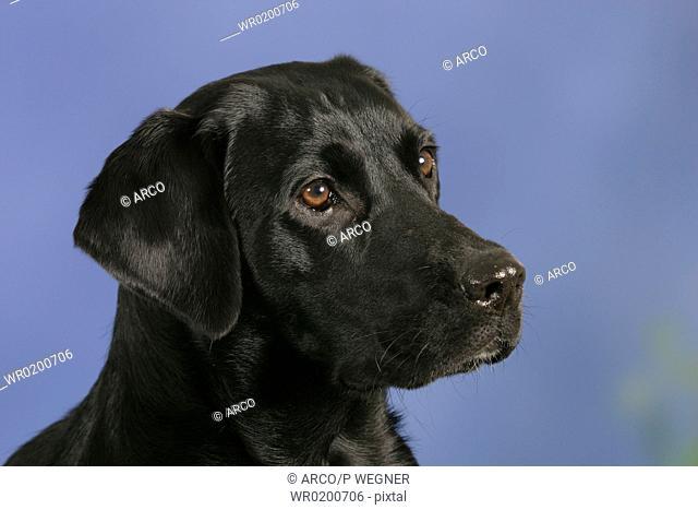 Labrador, Retriever, black