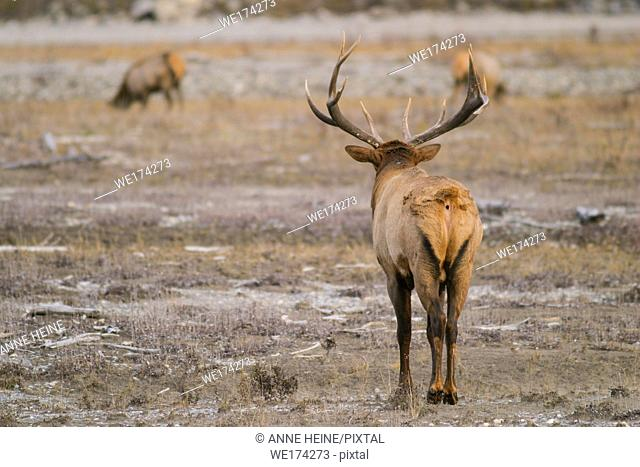 Male Elk from back on meadow looking to female elks feeding, Yoho National Park, Canada