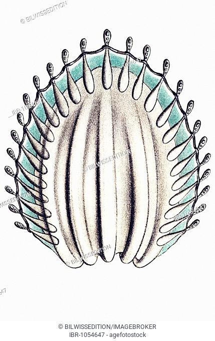 Historic illustration, tablet 16, title Narcomedusae, Jellyfish, name Pegantha, 2/ Pegantha pantheon, Peganthidae family, single lappet, Ernst Haeckel