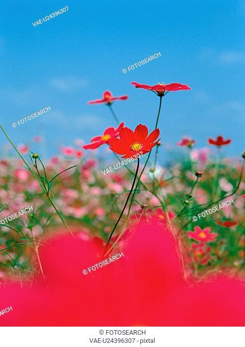 autumn, plant, season, cosmos, flower, film