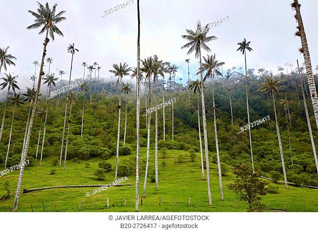 Palma de Cera del Quindío (Ceroxylon quindiuense), Valle del Cocora, Salento, Quindio, Colombia