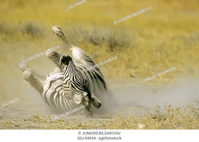 equus burchelli / Burchell's zebra