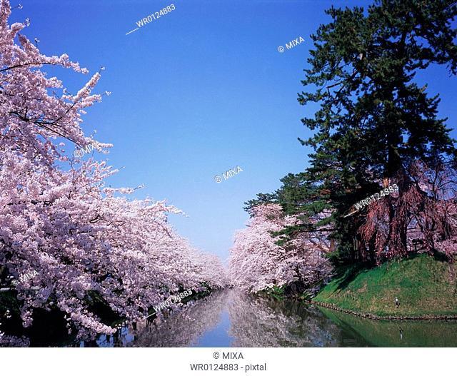 Cherry blossoms in Hirosaki Castle