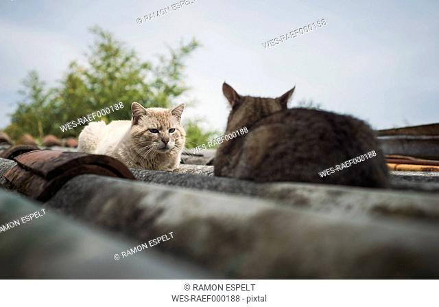 Two cats on a roof, cats are facing each other