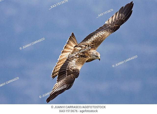 Red kite, Milvus milvus, in flight at Ordesa and monte perdido national park, Huesca Province, Aragon, Pyrenees, Spain