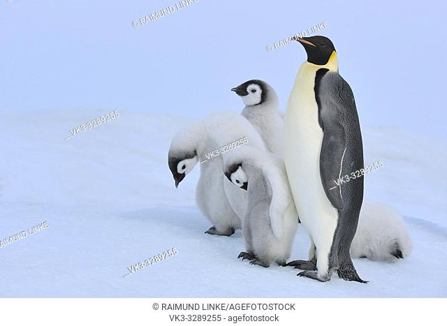 Emperor penguins, Aptenodytes forsteri, Adult with Group of Chicks, Snow Hill Island, Antartic Peninsula, Antarctica