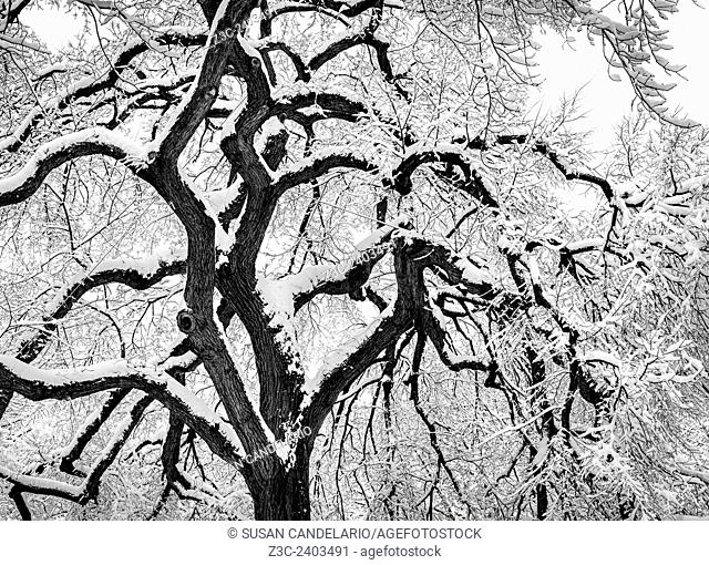 Snow covered tree in Central Park in New York City after a snow storm during the polar vortex