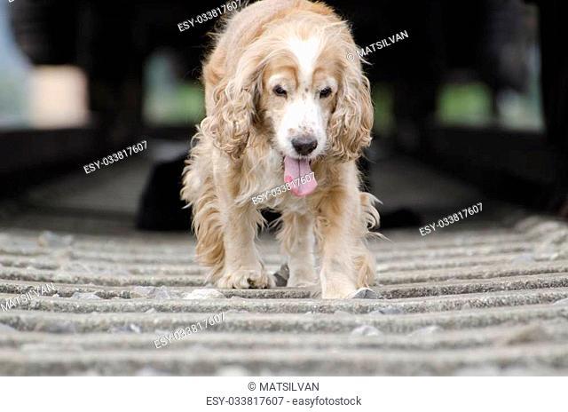 Blonde cocker spaniel dog walking under a train wagon