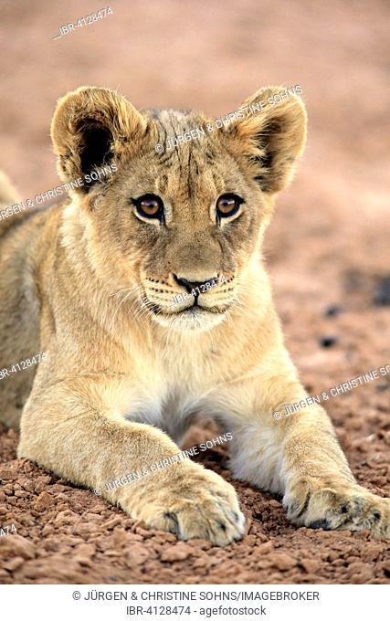 Lion (Panthera leo), cub, four months, Tswalu Game Reserve, Kalahari Desert, South Africa
