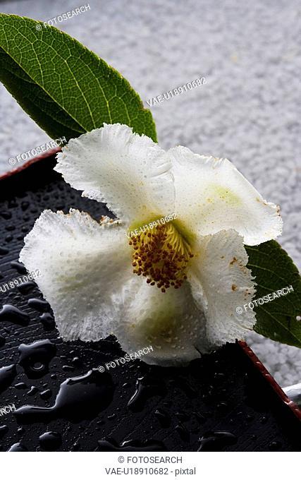 Stewartia pseudo-camellia