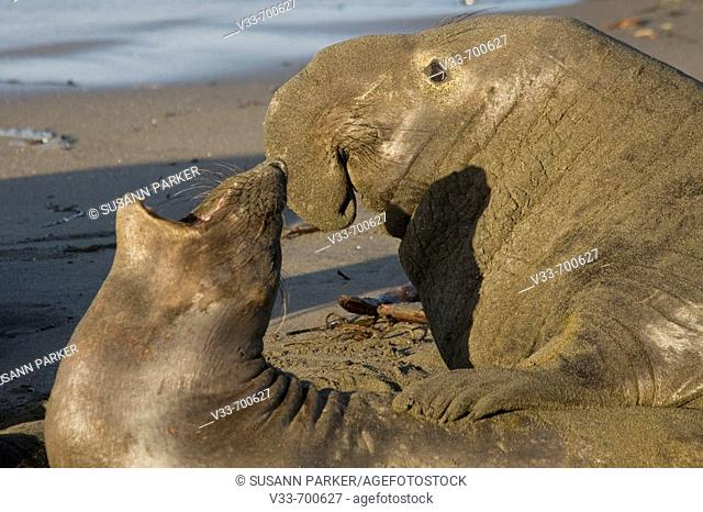 Elephant Seals mating on Piedras Blancas Beach in San Simeon. California. Usa