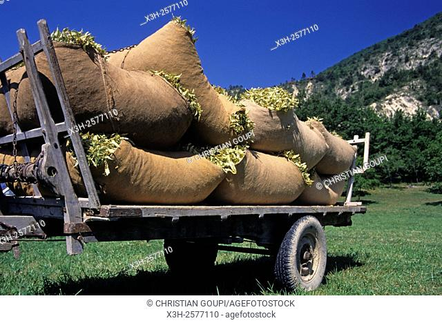 sacks of Tilia flowers at the fair of La Charce, Drome department, Rhone-Alpes region, southeastern France, Europe