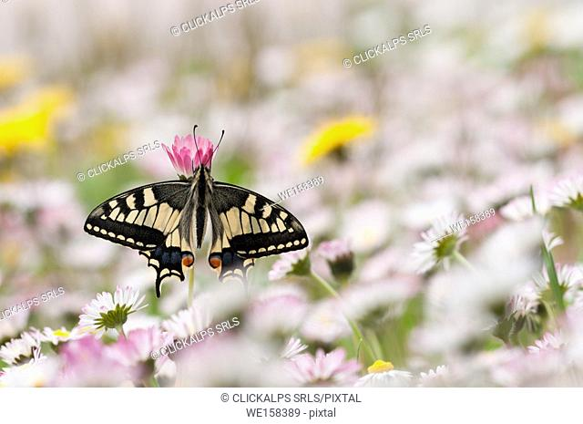old world swallowtail on the flowers, Trentino Alto-Adige, Italy