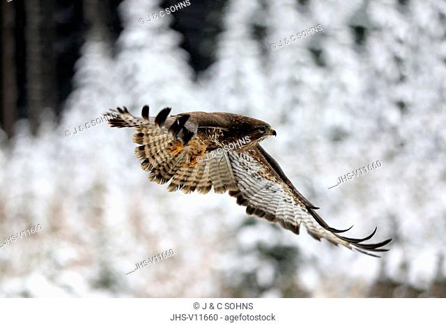 Common Buzzard, (Buteo buteo), adult in winter flying, in snow, Zdarske Vrchy, Bohemian-Moravian Highlands, Czech Republic
