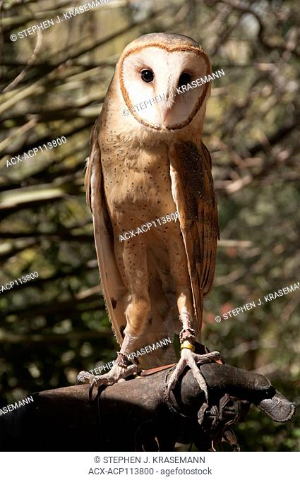 Barn Owl (Tyto alba) on falconers glove, Arizona Sonoran Desert Museum, Tucson, AZ