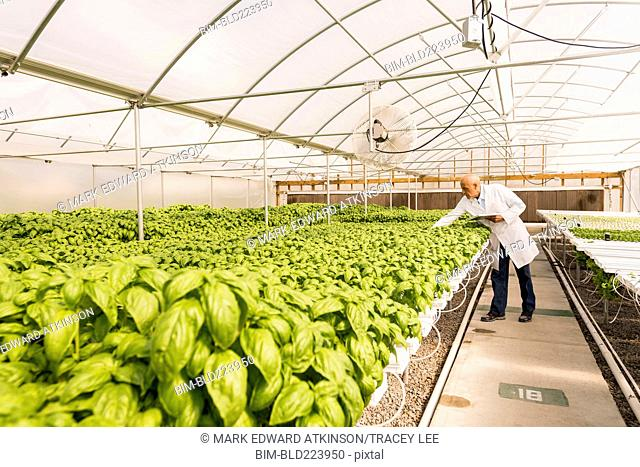 Mixed race scientist checking green basil plants in greenhouse