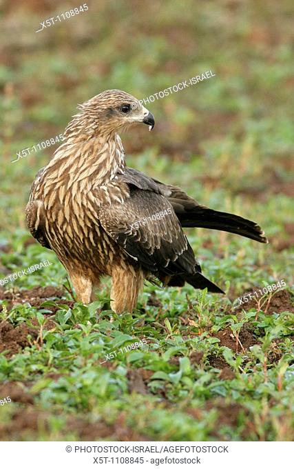 Black Kite Milvus migrans on the ground, Israel, winter, December 2007
