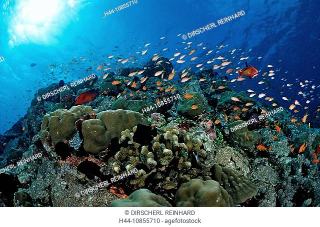 10855710, Maldives, Indian Ocean, Meemu Atoll, Ant