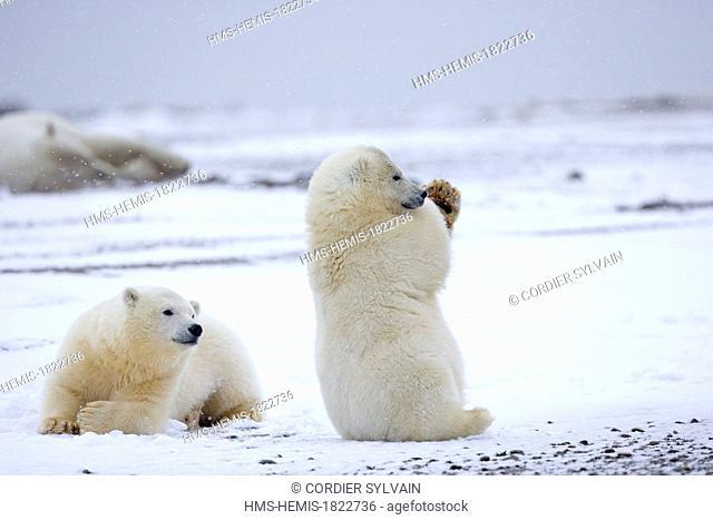 United States, Alaska, Arctic National Wildlife Refuge, Kaktovik, Polar Bear (Ursus maritimus), yearlings playing along a barrier island outside Kaktovik